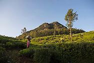 Sri Lankan women work in tea plantations around Nuwara Eliya, Sri Lanka (April 7, 2017)