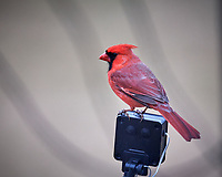 Northern Cardinal. Image taken with a Nikon D5 camera and 600 mm f/4 VR lens (ISO 1600, 600 mm, f/4, 1/125 sec).