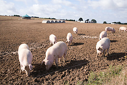 Pigs foraging for food on a farm in Wiltshire,