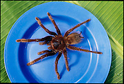 A live specimen of Theraphosa leblondi, the world's biggest tarantula before being fire-roasted, by Yanomami boys, in Sejal village, near the Orinoco River, Venezuela. (Man Eating Bugs page 167. See also page 6)
