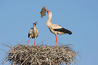 White stork (Ciconia ciconia) pair at nest with nesting material. Lithuania, May 2009. Mission: Lithuania