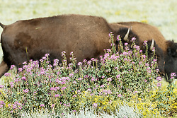 Bison herd walking through field of sage and wildflowers, Vermejo Park Ranch, New Mexico, USA.
