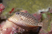 Scribbled Boxfish in juvenile form.(Ostracion solorensis).Lembeh Straits,Indonesia