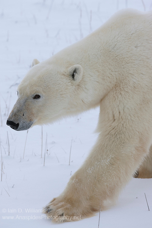 An adult polar bear walks warily past the photographer in the high Arctic in Canada