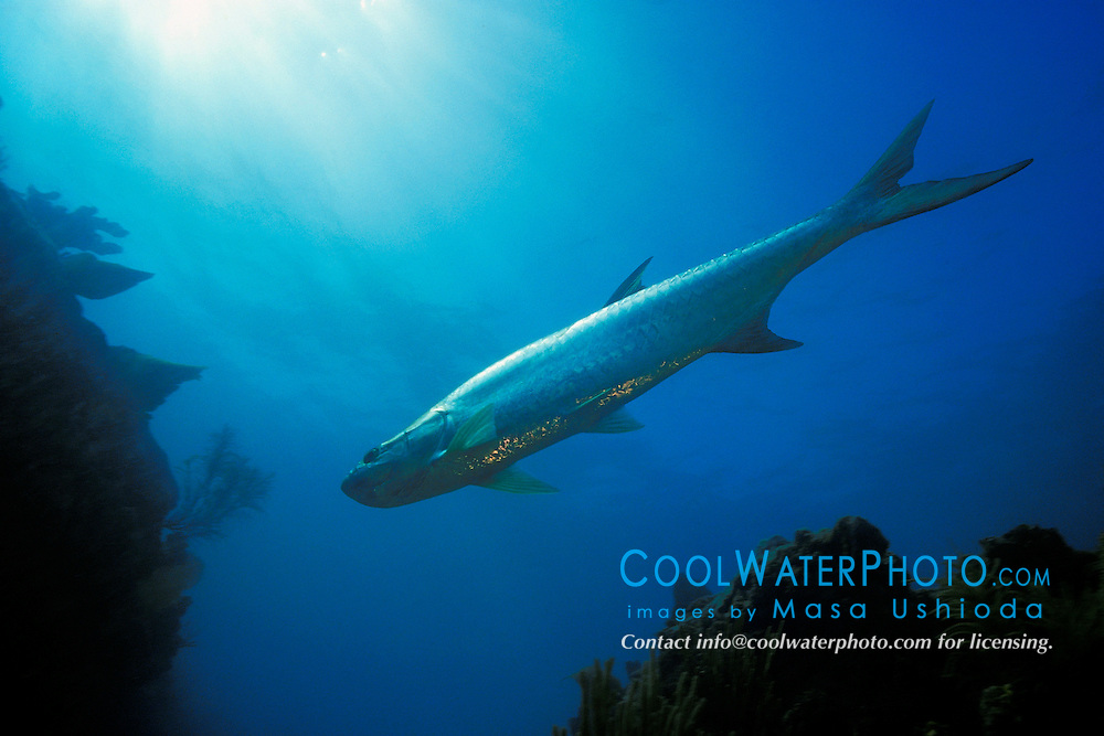 tarpon, Megalops atlanticus, Looe Key, Florida Keys National Marine Sanctuary, Atlantic Ocean
