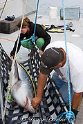 Emmerson Simpson, of Sharks Unlimited, and Pamela Emery, of the Canadian Shark Conservation Society, measure a porbeagle shark ( Lamna nasus ) which will be tagged and released for research, New Brunswick, Canada ( Bay of Fundy )