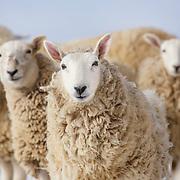 20131018 Wool Sheep