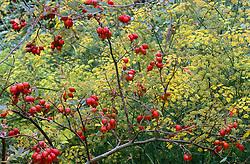 Rosa rubrifolia syn. R.glauca hips and fennel
