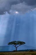 Rainstorm and sunbeams form rays behind acatia tree, Serengeti National Park, © David A. Ponton