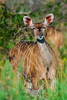 Kudu (antelope), Kwando Concession, Linyanti Marshes, Botswana.