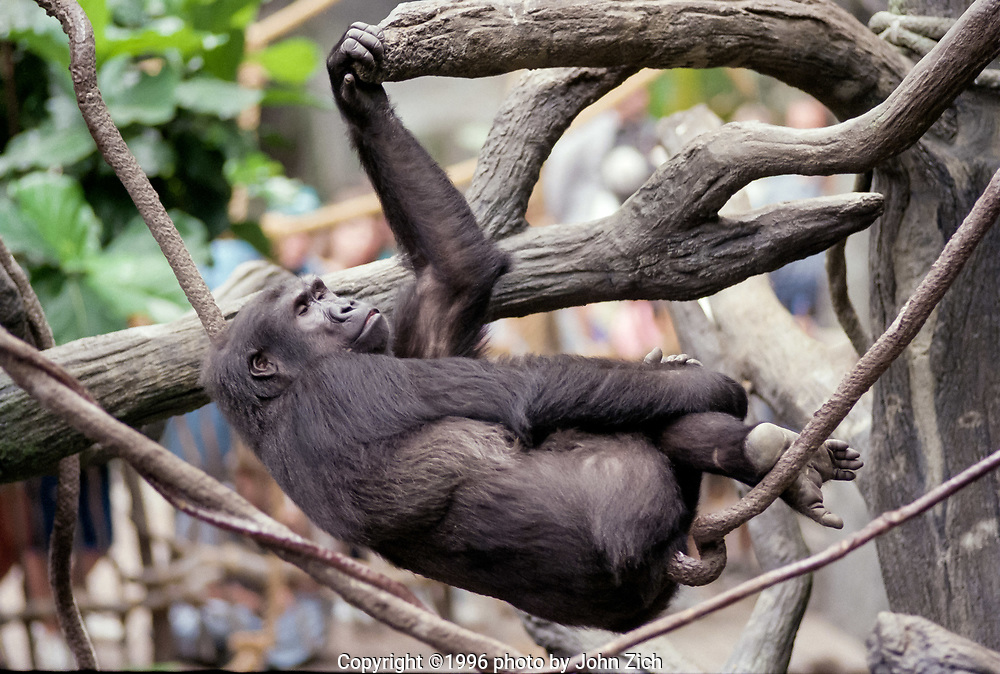 Binti Jua, a western lowland gorilla, rests on a tree branch in the gorilla enclosure at the Brookfield Zoo. (photo by John Zich)