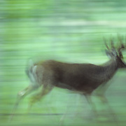 Whitetail deer buck with antlers in velvet, running through timber during early fall rut.