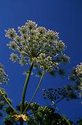 Giant hogweed plant umbel Heracleum mantegazzianum flower, UK