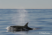 Orca, or killer whale, Orcinus orca, mother and calf surfacing, King Bank, New Zealand ( South Pacific Ocean )