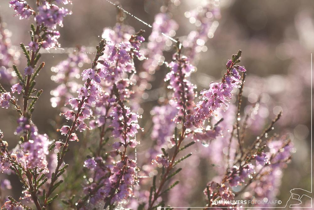 WK20100905-035.NEF.Natuur,Tafelbergheide,spinnenweb
