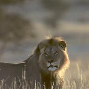 African Lion, (Panthera leo) Portrait of adult male. Kalahari Gemsbok National Park. Africa.