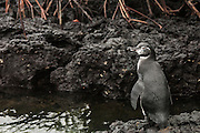 Galapagos Penguin (Spheniscus mendiculus) <br /> off of Puerto Villamil, Isabela Island, Galapagos Islands<br /> ECUADOR.  South America<br /> This is the only penguin to nest entirely within the tropics and in the case of those living on the northern tip of Isabela Island, the only penguins found in the northern hemisphere. They are the third smallest penguin in the world. They live in lava tubes and natural caves and crevices. The females lay one or two eggs and can breed more than once a year if conditions are optimal.<br /> ENDEMIC TO GALAPAGOS ISLANDS