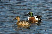 Shoveler, Anas clypeata, Stodmarsh National Nature Reserve, UK, swimming, open water, adult, male, female, pair, two