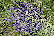 Lavender is the star at an annual festival.