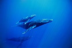 humpback whales, mother, calf & escort, Megaptera novaeangliae, Hawaii, Pacific Ocean