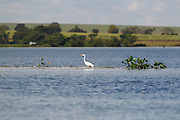 Conceicao de Alagoas_MG, Brasil.<br /> <br /> Registro da paisagem, da Fauna e da Flora da Estacao Ambiental de Volta Grande. Na foto uma garca.<br /> <br /> Landscape, fauna and flora of the Volta Grande Environmental Station. In this photo Rio Grande.<br /> <br /> Foto: JOAO MARCOS ROSA / NITRO