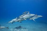 Hawaiian spinner dolphins or Gray's spinner dolphin, Stenella longirostris longirostris, Hookena, South Kona, Hawaii ( the Big Island ), USA ( Central Pacific Ocean )