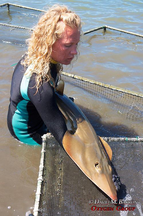 Stephanie Working On Shovelnose Guitarfish