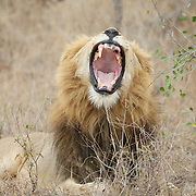 African Lion, large male, yawning. Londolozi Private Game Reserve. South Africa.