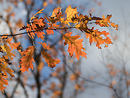 A time of transition: Lovely soft autumn colored oak leaves, rest easily against the wonderful blue to blue-gray sky.  The bare outlines of the distant trees show what they will become.