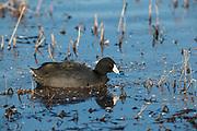 USA, Oregon, Baskett Slough National Wildlife Refuge, American Coot (Fulica americana).