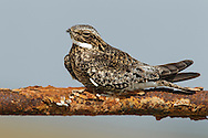 Common Nighthawk - Chordeiles minor - Adult male