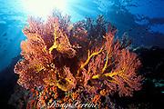 sea fan, Koh Dok Mai, off Phuket, Thailand, ( Andaman Sea, Indian Ocean )