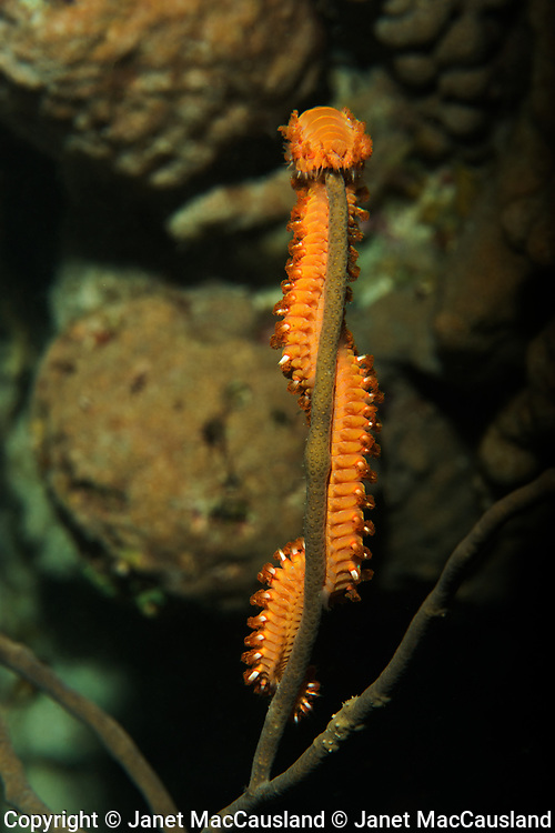 In the darkness of night, a seaworm, family Amphinomidae of marine bristleworms, climbs to the tip top of a coral branch to eat the coral polyps.
