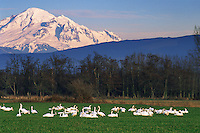 Mt. Baker, from Whatcom County near Ferndale, WA, Snow geese, Winter