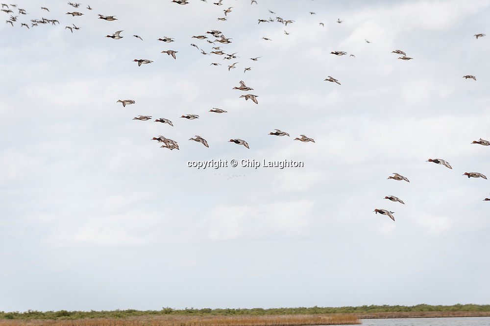 duck hunting stock photography photo image