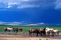 Mongolie, Province du Khentii, Troupeau de chevaux // Mongolia, Khentii province, horses