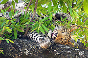 A leopard cub stares at the camera and playfully poses for it's portrait in a tree.  Botswana, 2008.