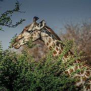 20211003 Maun Botswana <br /> Moremi nationalpark Okavangodeltat<br /> Giraff giraffer <br /> <br /> <br /> ----<br /> FOTO : JOACHIM NYWALL KOD 0708840825_1<br /> COPYRIGHT JOACHIM NYWALL<br /> <br /> ***BETALBILD***<br /> Redovisas till <br /> NYWALL MEDIA AB<br /> Strandgatan 30<br /> 461 31 Trollhättan<br /> Prislista enl BLF , om inget annat avtalas.