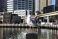 Darling Harbour, Waterfront Sydney with seagul