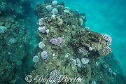 bleached colonies of cauliflower coral, Pocillopora meandrina, during a marine heat wave in 2019, Black Rock, West Maui, Hawaii, USA ( Central Pacific Ocean ); some corals are fluorescing in pastel corals - this is believed to be a protective response that reduces cell damage from ultraviolet light; interspersed among the bleached colonies are dead algae-covered colonies - victims of previous events