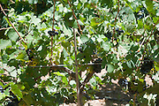 Israel, Lower Galilee, Tabor Winery, ripening Pinot Noir grape on the vines two weeks before harvest July 2008
