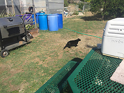 August 7, 2017 - USA - A black cat crossing a backyard of a house at Guantanamo Bay Navy base on March 9, 2017 in a photo approved for release by the U.S. military. (Credit Image: © Carol Rosenberg/TNS via ZUMA Wire)