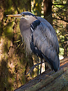 A Great Blue Heron (Ardea herodias) rests in the forest on Fidalgo Island, in Deception Pass State Park, Washington, USA. The bird raised one leg.