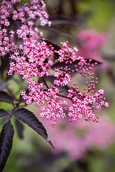 Sambucus 'Black Cherry'. Elder
