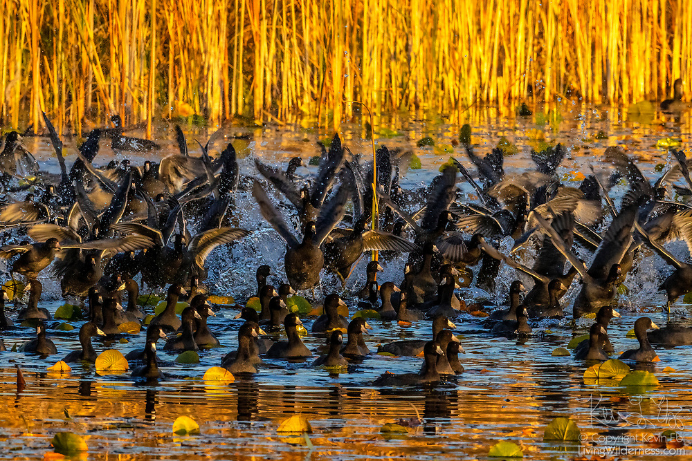 American coots (Fulica americana) begin to take flight from an area where they were feeding on Lake Sammamish in Redmond, Washington. The American coot is also sometimes called a mud hen or pouldeau. This image was captured from Marymoor Park, a King County park that attracts more than 3 million visitors each year.