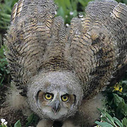 Great Horned Owl, (Bubo virginianus) Fledgling, have just left nest, among glacier lilies in defensive posture. Bridger mountains. Montana.
