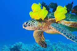 Endangered species, Green Sea Turtle, Chelonia mydas, being cleaned by Yellow Tang, Zebrasoma flavescens, and Gold-ring Surgeonfish, Ctenochaetus strigosus, off Kona Coast, Big Island, Hawaii, Pacific Ocean