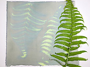 A sheet of exposed cyanotype chemical paper with the fern that blocked the UV light. Exposure to UV light has caused the chemicals to turn blue. The next step would be to wash the print in water. In this process an object is placed on the ultraviolet sensitive chemically treated paper and exposed to a strong UV light source – in this case sunlight.  The object is then removed and the print washed in cool water to remove the unreacted chemicals. Cyanotype is a photographic printing process that produces a cyan-blue print. Engineers used the process well into the 20th century as a simple and low-cost process to produce copies of drawings, referred to as blueprints. The process uses two chemicals: ammonium iron(III) citrate and potassium ferricyanide.  The English scientist and astronomer Sir John Herschel discovered the procedure in 1842.