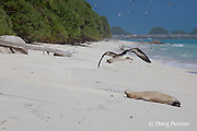 Laysan Albatross, Phoebastria immutabilis, flies past a sleeping Hawaiian monk seal, Monachus schauinslandi, Critically Endangered endemic species, Sand Island, Midway, Atoll, Midway Atoll National Wildlife Refuge, Papahanaumokuakea Marine National Monument, Northwest Hawaiian Islands ( Central North Pacific Ocean )