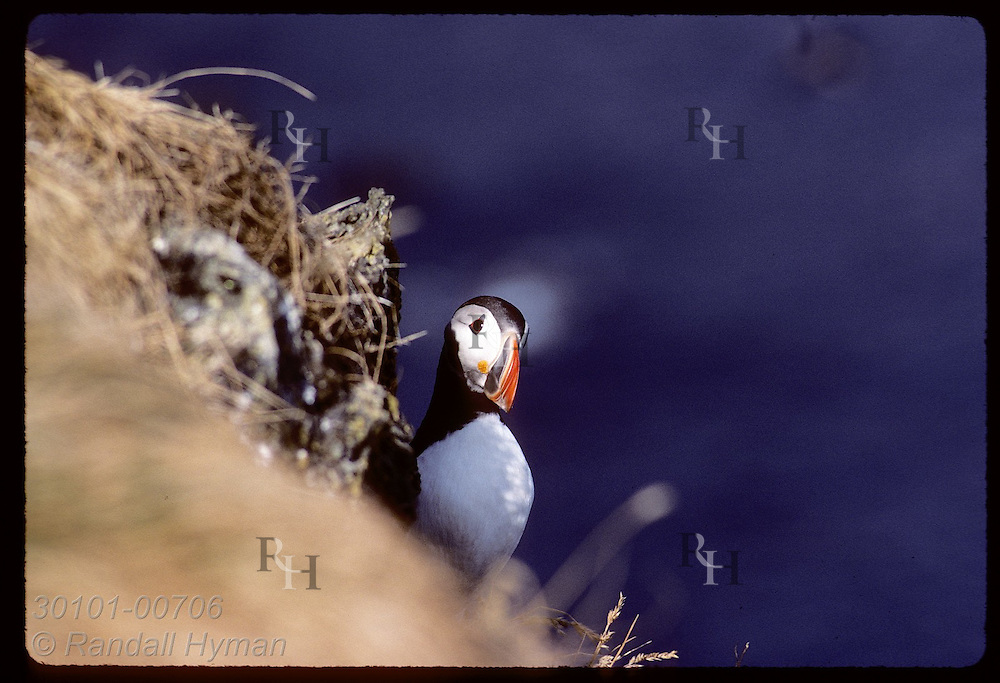 Puffin is half hidden by slope on Heimaey in Westmann Islands, home of world's largest colony. Iceland